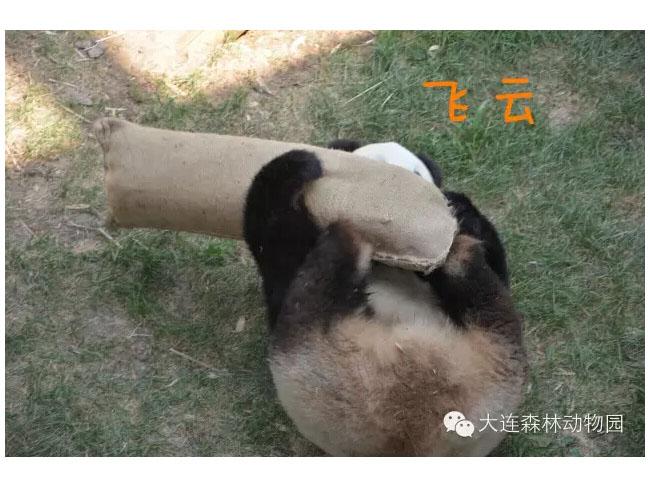 教您如何分辨森林动物园明星大熊猫