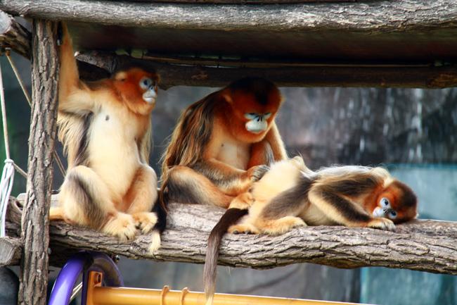 金丝猴.JPG